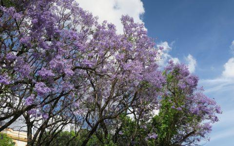 Sevilla Trees